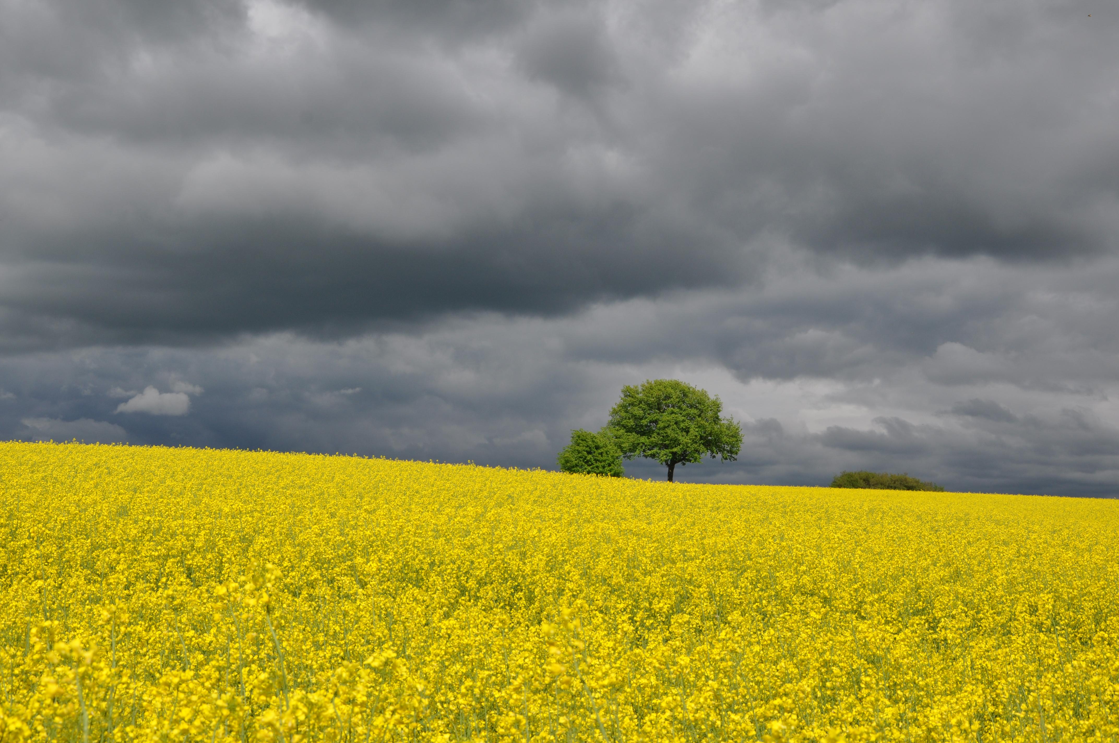 Rapsfeld südlich von Laubach im Frühling